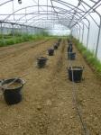 Plantation des chayotes