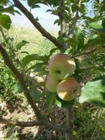 LES pommes !